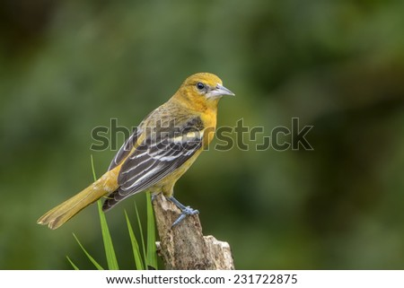 Baltimore Oriole perched photographed in Costa Rica. - stock photo