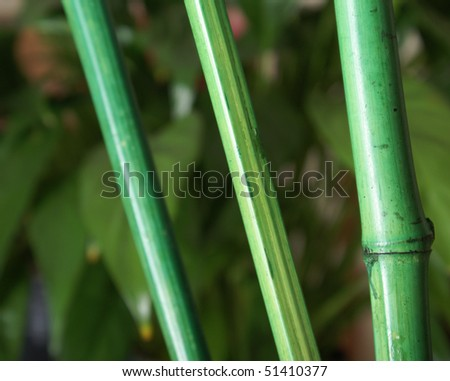 Bamboo and Foliage