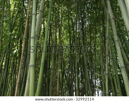 Bamboo cane trees useful as a background