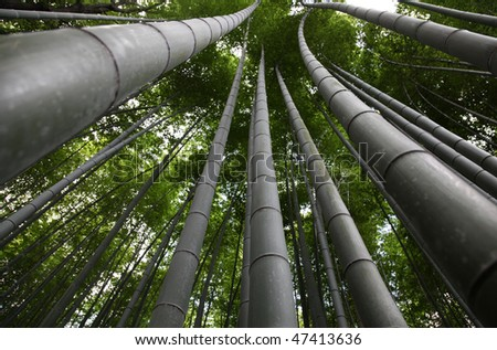 Bamboo forest - Arashiyama district in Kyoto Japan - stock photo