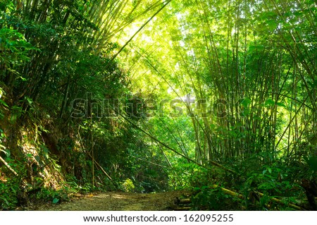Bamboo forest at pathway hiking with morning sunlight - stock photo