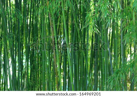 Bamboo forest background - stock photo