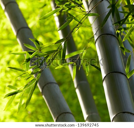 Bamboo forest background. Shallow DOF - stock photo