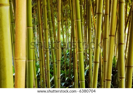Bamboo forest; day light; horizontal orientation - stock photo