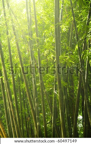 bamboo forest early in the morning with ray of lights - stock photo