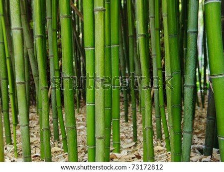 Bamboo forest. Selective focus. Focus on a first plant