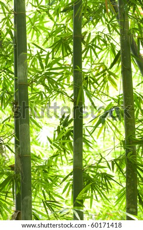 bamboo forest with a lot of backlights - stock photo