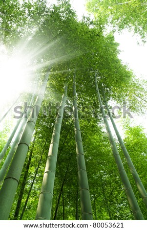 bamboo forest with bright sunlight - stock photo