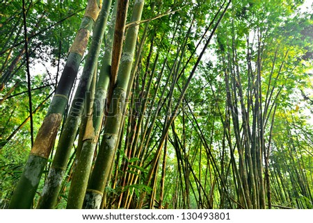 bamboo forest with glorious morning sunshine - stock photo