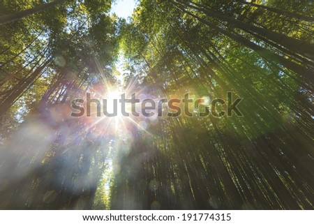 Bamboo forest with strong morning sunlight - stock photo
