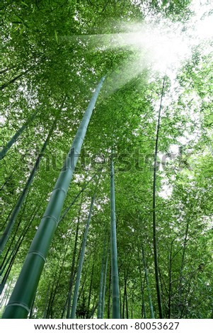 bamboo forest with sunlight,beautiful natural environment - stock photo