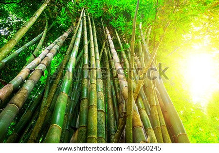Bamboo forest with sunny in morning.  - stock photo