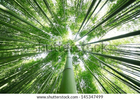 Bamboo Grove - stock photo