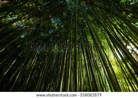 Bamboo grove forest in Arashiyama, Kyoto, Japan - stock photo
