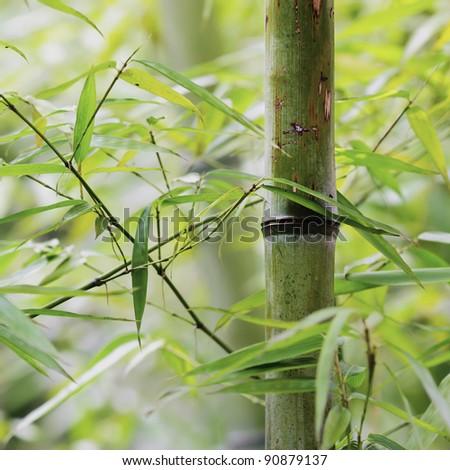 bamboo groves - stock photo