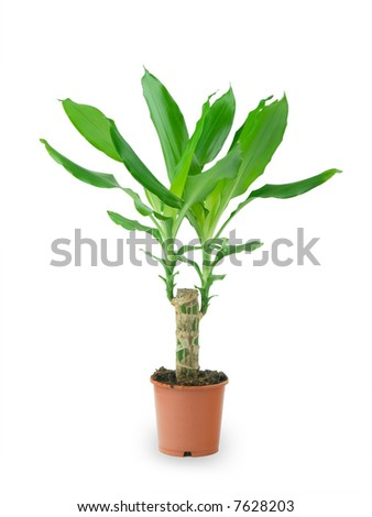 Bamboo in a pot  with clipping path