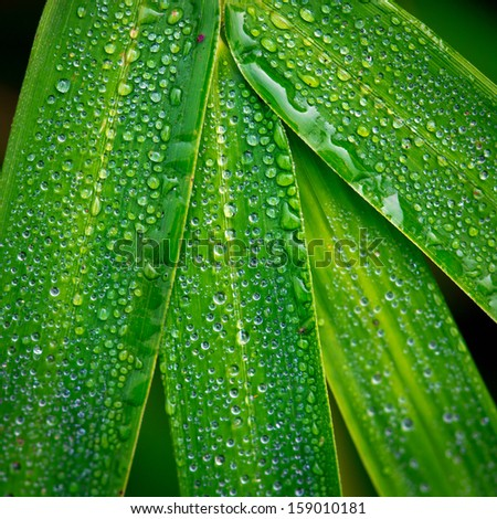 bamboo leaf and dew abstract background