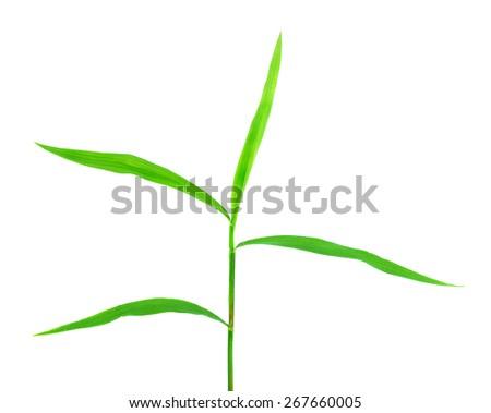 Bamboo leaf isolate on white background. - stock photo