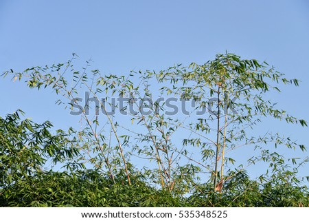 Bamboo leaf with blue sky background .