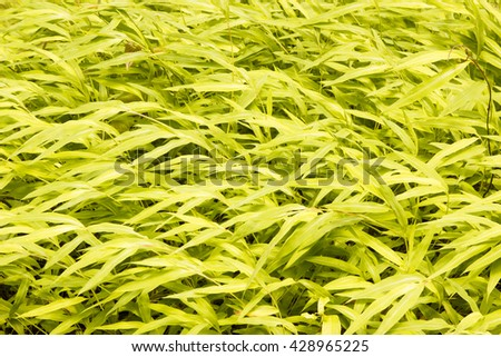 bamboo leaves texture or background. - stock photo