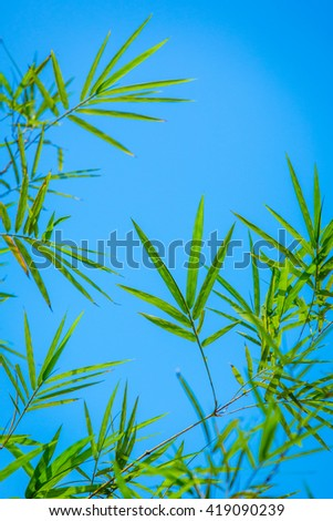 Bamboo leaves with blue sky background.