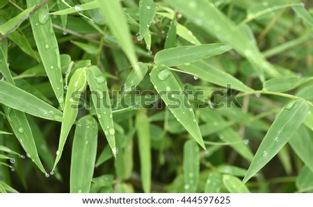 Bamboo leaves with droplets