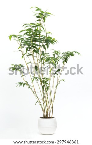 Bamboo named Hououchiku