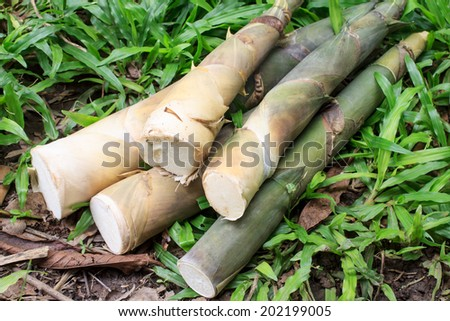 bamboo shoots in forest - stock photo