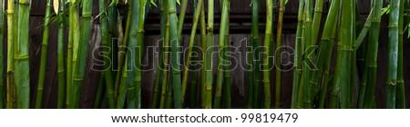 Bamboo stalks after rain. - stock photo
