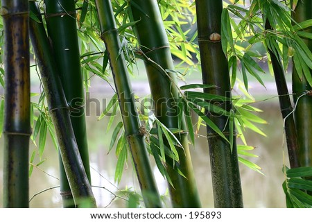 Bamboo stalks in color. - stock photo