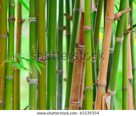 Bamboo stems in forest. Shallow DOF - stock photo