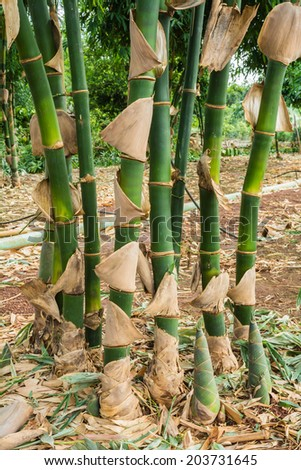 Bamboo tree that are bamboo shoots growing - stock photo