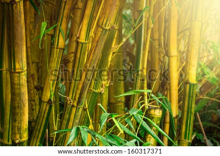 Bamboo trees in jungle with sunrays - stock photo