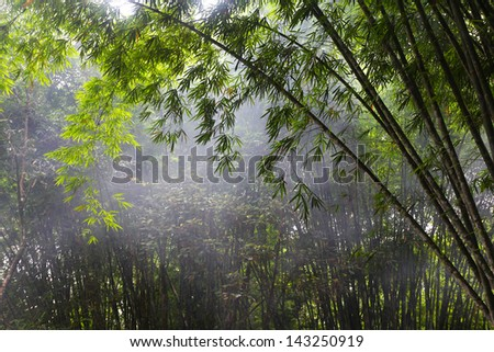 Bamboo trees in the morning light