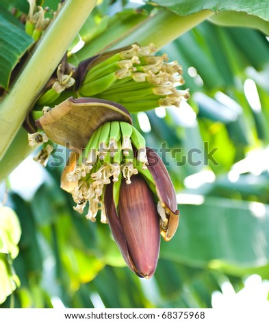 Banana blossom and bunch on tree in the garden at Thailand - stock photo