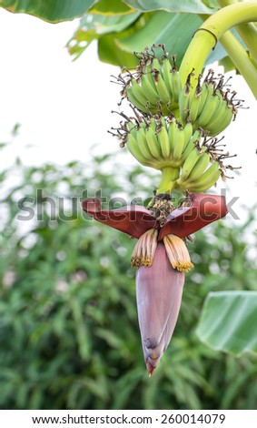 banana blossom in the garden - stock photo