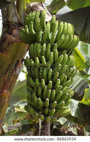 Banana bunch (Musa acuminata) in a plantation at Tenerife in the Spanish Canary Islands - stock photo