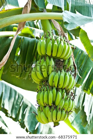 Banana bunch on tree in the garden at Thailand - stock photo