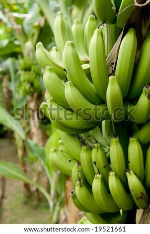 Banana bunch ripening on tree. - stock photo