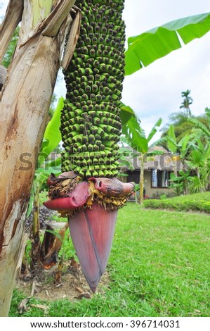 Banana flower in a coutryside in Vietnam - stock photo