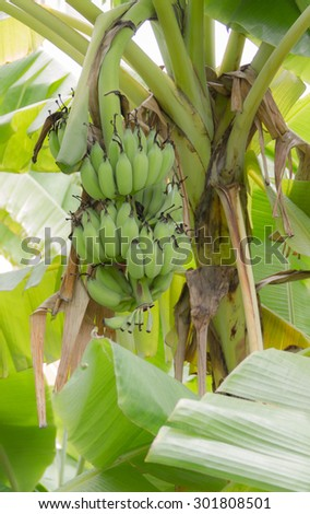 Banana in the jungle
