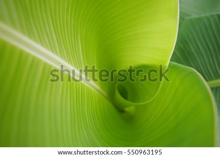 Banana leaf background in nature