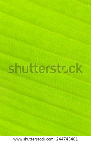 Banana leaf background with lines - stock photo