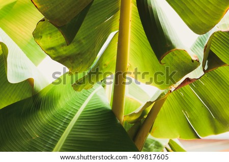 Banana leaf backlit Sun,Abstract  background of A Lot Green leaves surface - stock photo