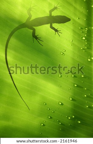 Banana leaf backlit with water drops and lizard shadow - stock photo
