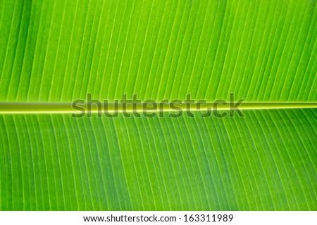 Banana leaf close up. - stock photo