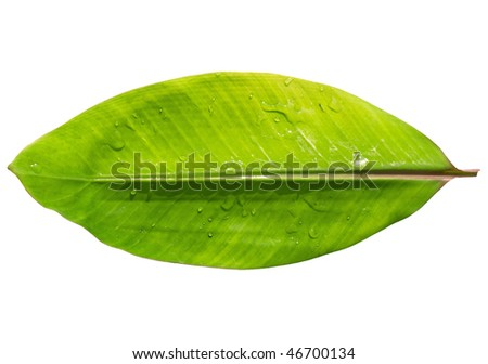 banana leaf from the red banana plant with water drops isolated with clipping path