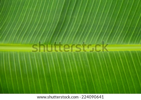 Banana leaf in horizontal pattern with main vein.