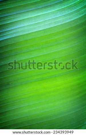 Banana leaf in yellow and green color, Can be used as background. - stock photo
