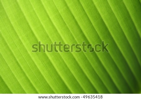 Banana leaf texture as background - stock photo